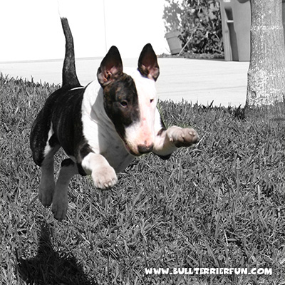 Bull Terrier Character - Mila jumping after a ball in our yard