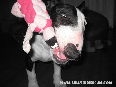 General Bull Terrier toy information - Mila with her Kong soft toy
