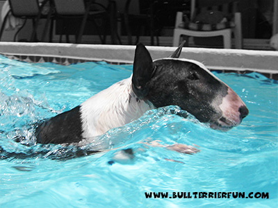 How to work out a Bull Terrier