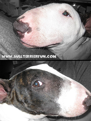 Bull Terrier and Miniature Bull Terrier Breed Information - Colors