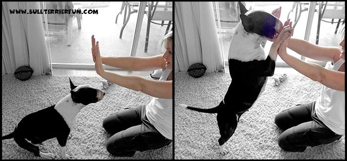 General Dog Training Information - Mila during training