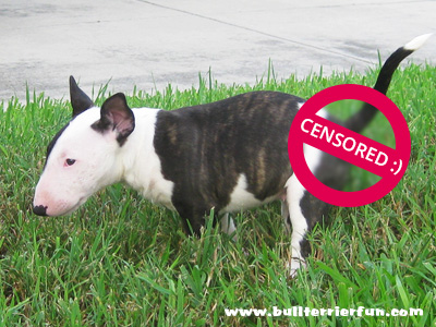 """Puppy Potty Training"" tips or how to get your Bull Terrier puppy house trained"