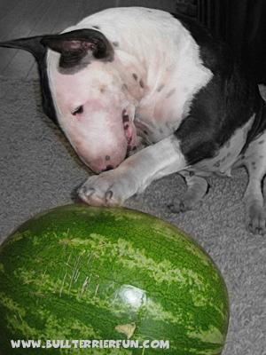 Bull terrier toys - Mila plays with a melon
