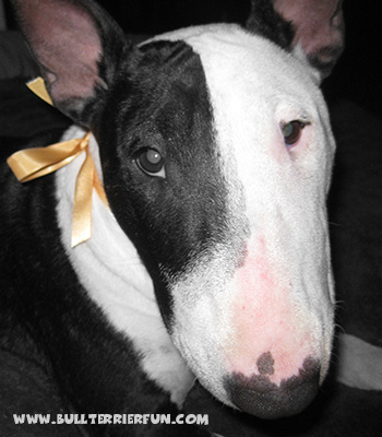 Bull Terrier Character - Mila showing her pokerface