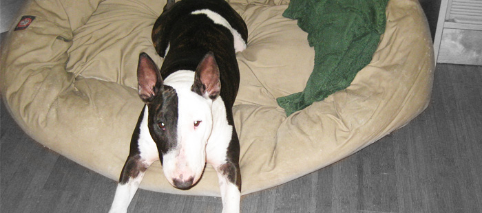Dog beds for Bull Terriers - Mila in her bagel bed.