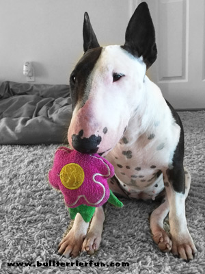 Potty Bells and potty bell training for my Bull Terrier