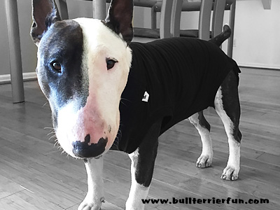 Dog Heat suit - a great alternative to diapers for intact bitches