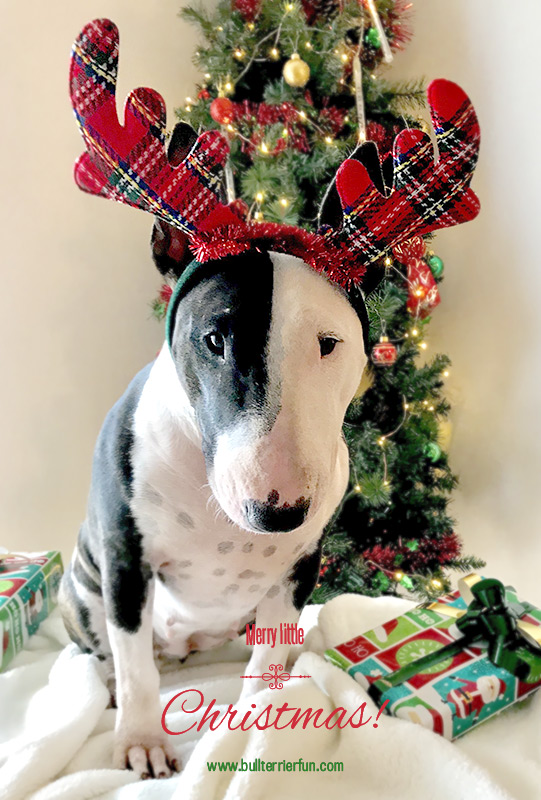Bullterrierfun.com wishes you MERRY CHRISTMAS!